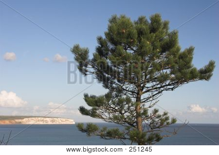 Fir Tree With Sea And Cliffs