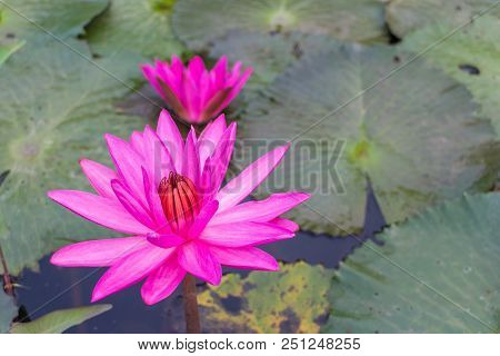Colse Up For Pink Lotus With The Leaf Background