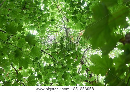 Green Summer Forest, Look Up Into Trees.