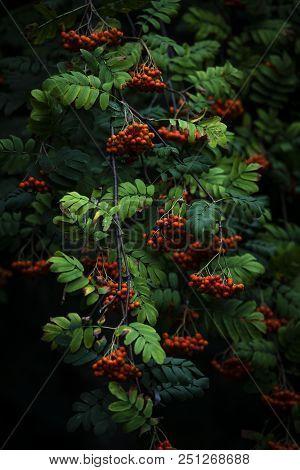 Rowan Berries On Branch Fresh Food Health Life