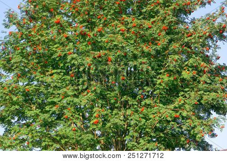 Rowan Berries On Rowan Tree, Rowan Growing On A Tree, Useful Berry For Health, Red Ashberry As A Med