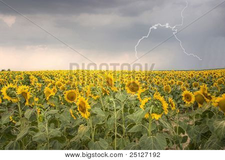 Hdr Pic Of Sunflower Field Under Stormy Sky With Lightning