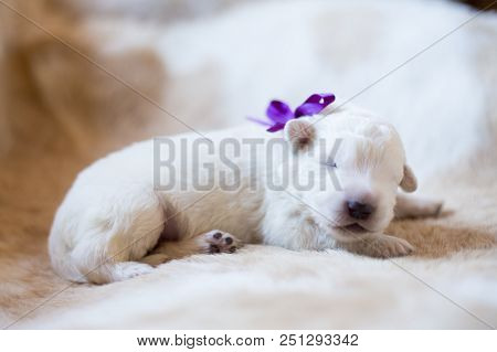 Portrait Of Cute One Week Old Maremma Puppy Sleeping On The Cow's Fur. Sweet White Pup Looks Like A