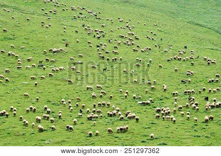 A Large Herd Of Sheep On A Hillside Georgia