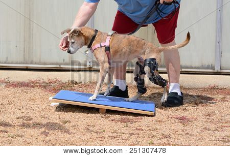 Dog Rehabilitation Exercise On Rocker Board For Dog With 2 Orthotic Braces For Knee Ligament Injurie