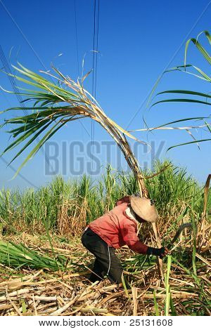 Man harvesting the sugarcane crop poster