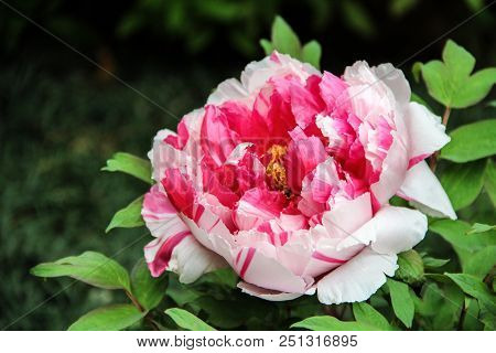 Pink And White Peony In The Garden. Burgundy Peony Flower. Large Fluffy Peonies