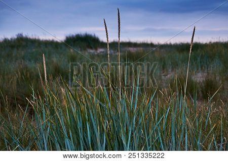 Marram Grass At The Beach In Bannow Co. Wexford, Ireland