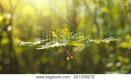 Fresh Maple Foliage