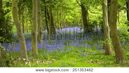 An English Woodland Full Of Bluebell Flowers