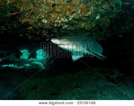 Ragged Tooth Shark (Cacharias taurus)