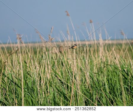 European Stonechat Or Saxicola Rubicola Sits On Reed In Marsh