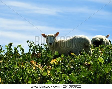 A Sheep Is Looking From The Top Of The Hill