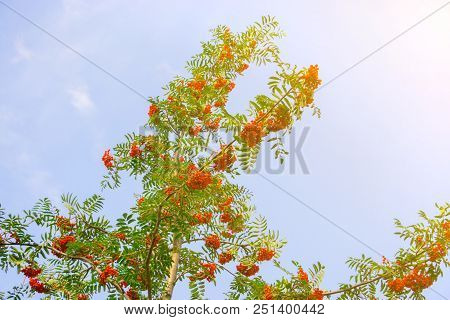 Rowan Growing On A Tree, Useful Berry For Health, Red Ashberry As A Medicine