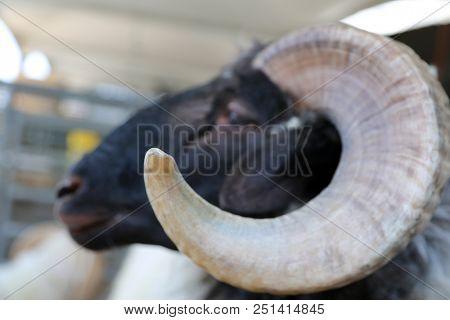 Big Horn Ram. Ram Sheep. Big Horn Sheep.