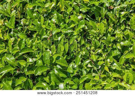 Top View Of Tea Leaves. Tea Plantation Near Sochi, Russia. The Photo Shows A Tea Plantation In Dagom