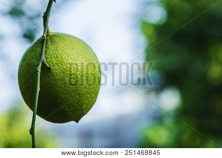Green Lemon On A Branch In The Garden Fresh Green Lemon Hanging On Branches With Leaves On A Tree. O