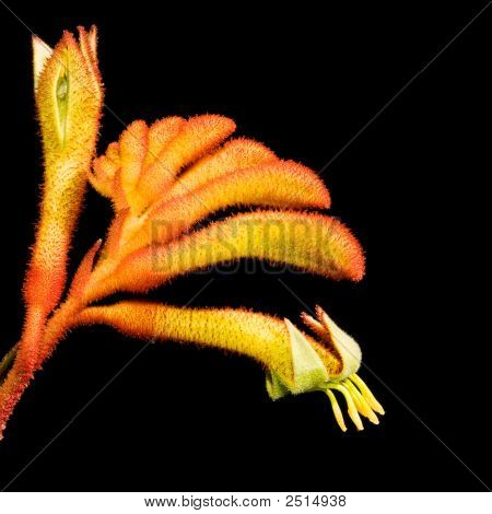Kangaroo Paw, Native Australian Plant