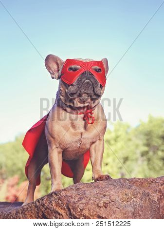 cute french bulldog in a super hero costume  toned with a retro vintage instagram filter