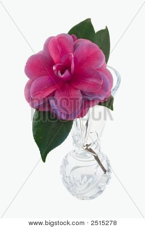 Camellia Bloom In A Vase