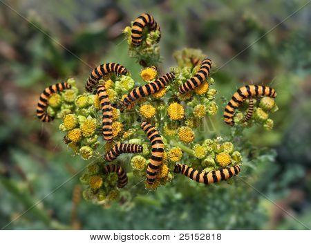 Tiger larver Invasion
