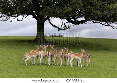 Axis deer or Chital deer from India under large tree