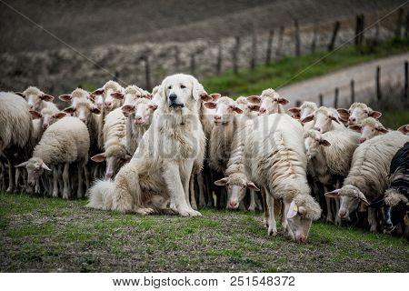 Shepherd Dog Guarding And Leading The Sheep Flock