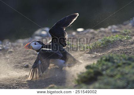 Atlantic Puffin Crash Landing During The Breading Season On Skomer Island, Wales.