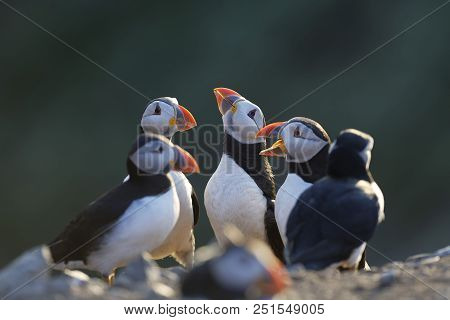 There Is Something In The Air Tonight, Group Of Atlantic Puffins During The Breading Season On Skome
