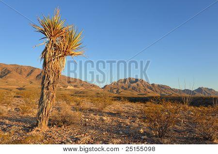 Desert Scene Featuring Yucca Plant
