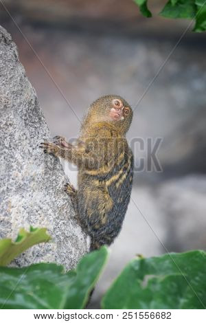 Pygmy marmoset, Cebuella pygmaea, gripping a rock face. This is the smallest monkey in the world and is indigenous to South America and the Amazon rainforest