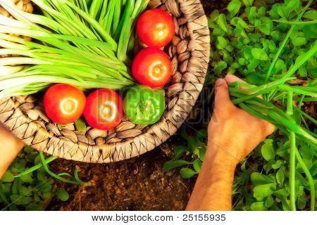 Home garden harvest of fresh summer vegetables