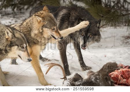 Grey Wolf (canis Lupus) Paws At Black Phase Wolf - Captive Animals