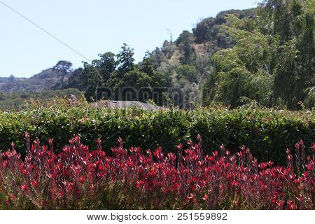 This Is An Image Of Two Hedges In Carmel Valley, California Taken On A Summer Afternoon.