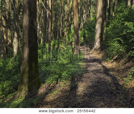 Eucalyptus Forest Trail