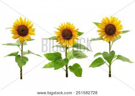 three sunflowers isolated on white background