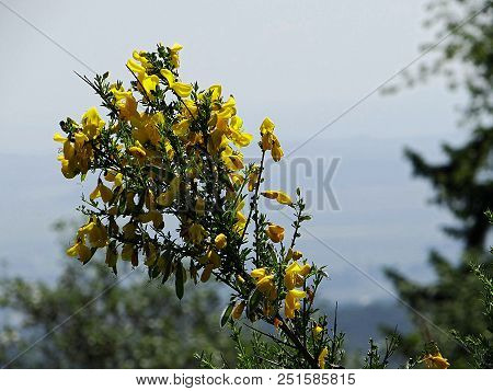 Beautiful Gorse Flowers In The Wahner Heide
