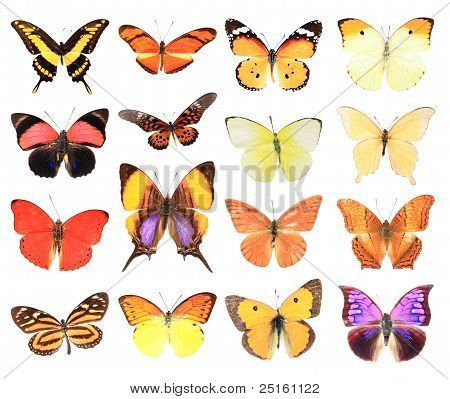 Many of the butterflies