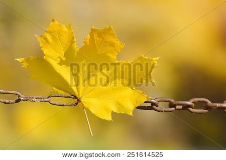 Yellow Maple Leaves On A Metal Chain. Autumn Concept
