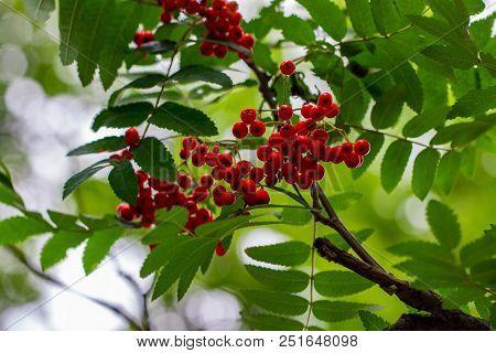 Rowan Berries, Sorbus Aucuparia, Tree Also Called Rowan And Mountain Ash.