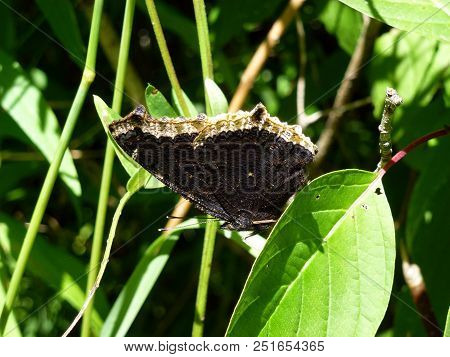 Black Butterfly Admiral Sitting On The Flower
