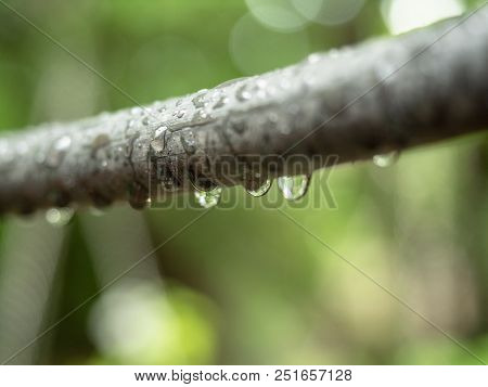 Close Up View On Tree Branch Full Of Shining Rain Drops In Garden. Offshoot Of Plant Sparkling In Th