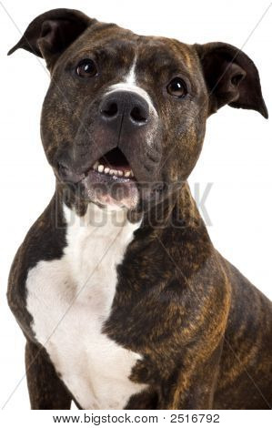 a pretty american staffordshire terrier in the studio poster