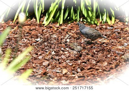 This Is An Image Of Baby Quail Being Guarded By An Adult Male Quail In Carmel Valley, California.