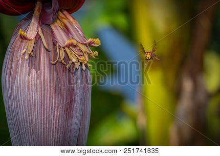 Wasp Is Flying For A Banana Tree In Greece
