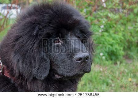 Cute newfoundland puppy close up. Pet animals. Guardian dog. poster