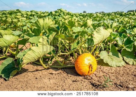 Close-up Of Growing Plants, Flowers And Fruits In The Open Ground At A Specialized Pumpkin Nursery I