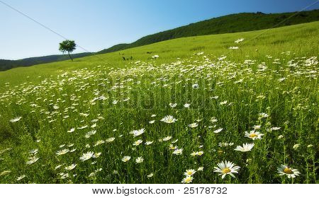 summer landscape is the field camomiles