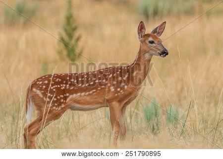 A Cute Whitetail Deer Fawn In Summer