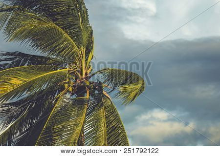 Palm Tree In The Wind With Dark Cloud Background Before Raining